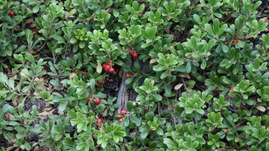 Die Bärentraubenblätter als Heilpflanze