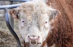 Bull Bling Why We Put Nose Rings In Our Bulls 4 Wiley Farm