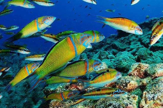 """Peixes """"Thalassoma pavo""""; censo da biodiversidade das ilhas Canárias catalogou 500 espécies; veja fotos"""