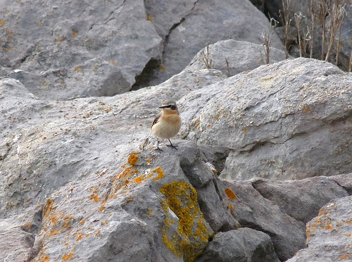 12202 - Male Wheatear at Rhossili