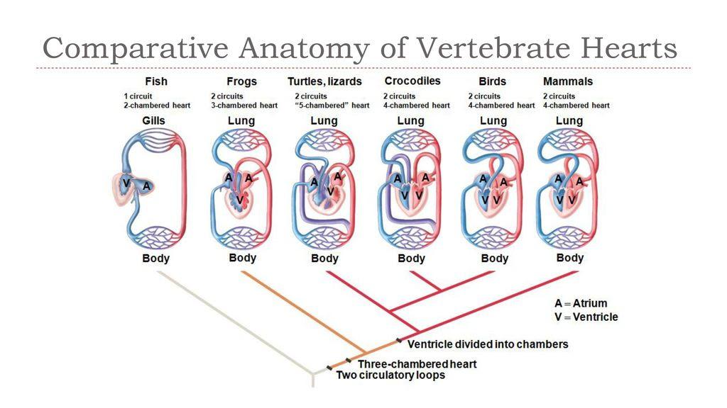 Frog Heart Diagram Blood Flow ~ DIAGRAM