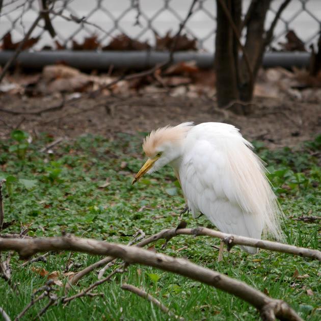 Ed Gaillard: birds &emdash; Cattle Egret, Penn South, Manhattan