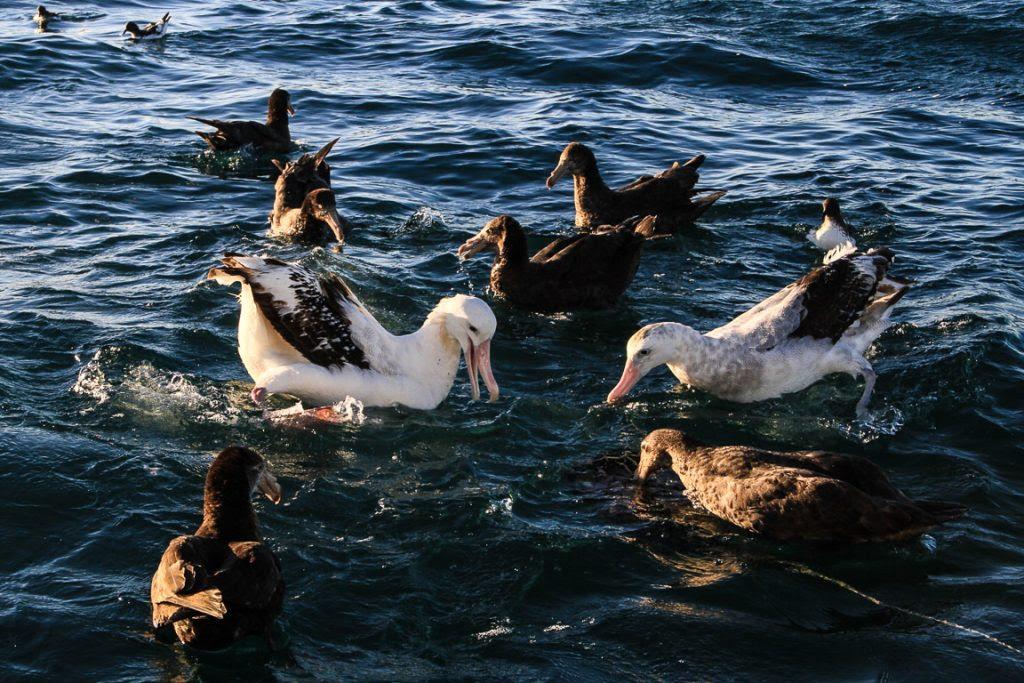 Albatrozes-neozelandeses Diomedea antipodensis e petréis-gigantes Macronectes hallii atraídos pelo purê de fígado de peixe oferecido durante um pelágico em Kaikoura, Nova Zelândia. O país é referência em ecoturismo e conservação marinha, combinando ambas.