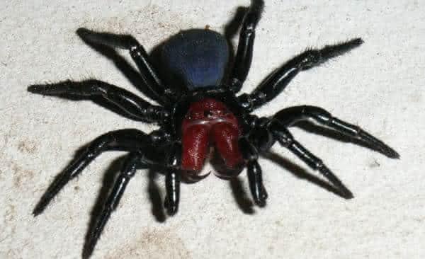 aranha rato entre as aranhas mais venenosas