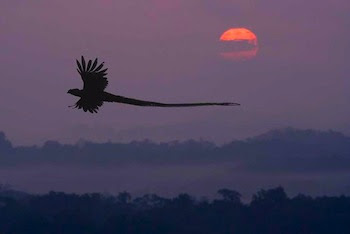 quetzal flying