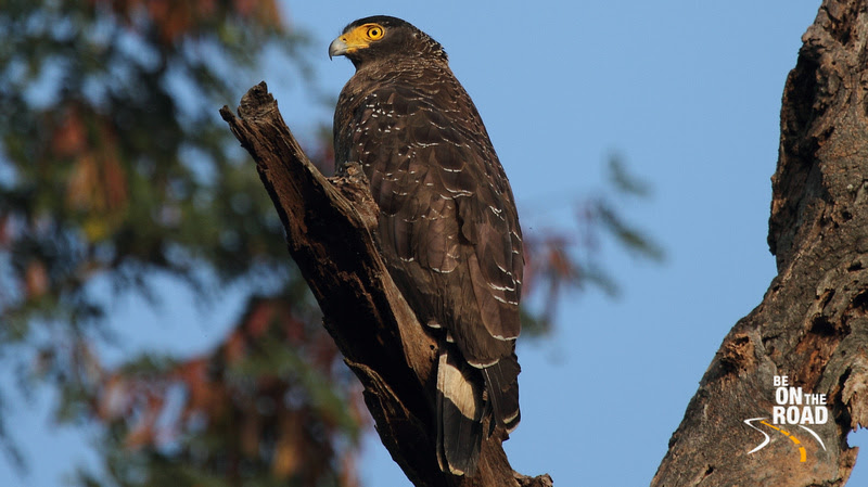Crested Serpent Eagle seen at Kaziranga, Assam