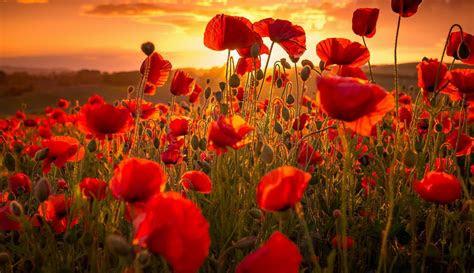 sunset poppies summer hd wallpaper