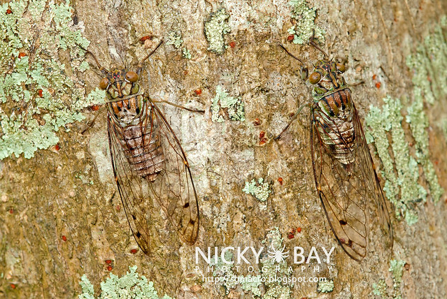 Cicadas (Cicadidae) - DSC_8552