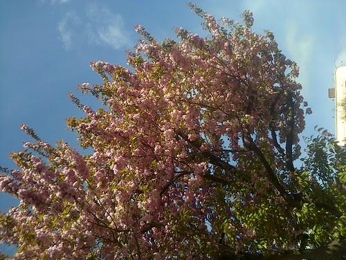 cherry blossom May 13 3