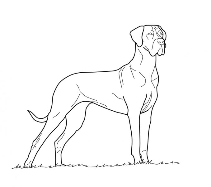 Great Dane Drawing at GetDrawings | Free download