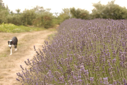 the island - lavender fields