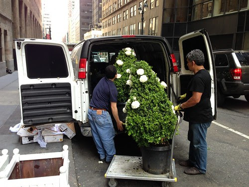 Loading ornamental trees outside Cipriani's, NYC