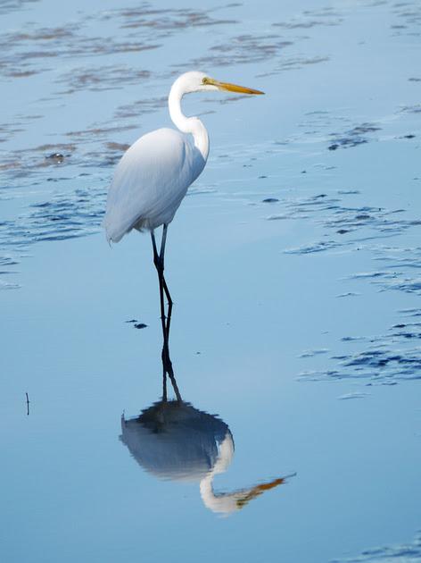 Ed Gaillard: birds &emdash; Great Egret, Inwood Hill Park