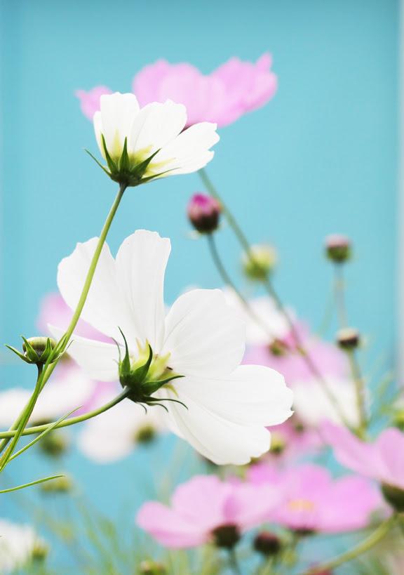 cosmo flowers