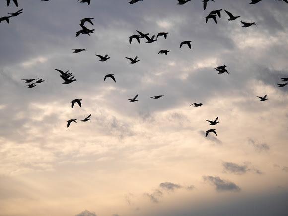 Ed Gaillard: birds &emdash; Brant in flight