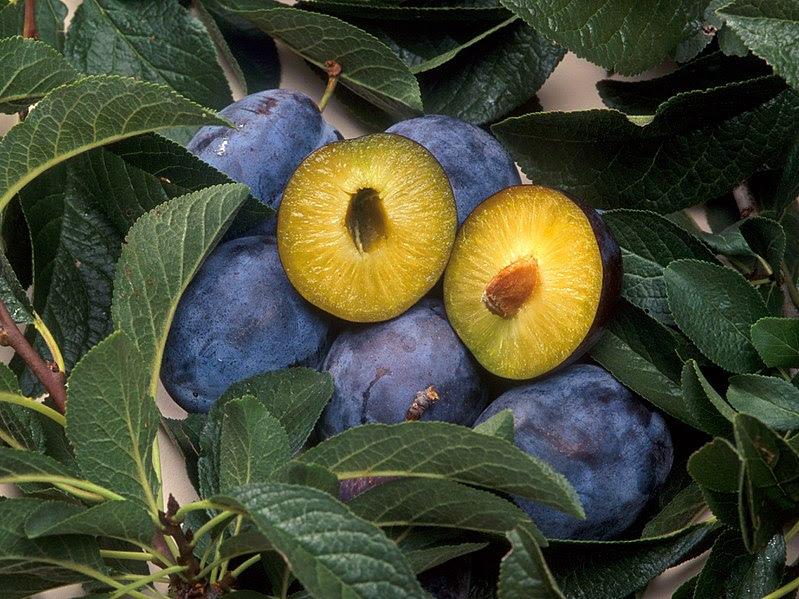 File:C5 plum pox resistant plum.jpg