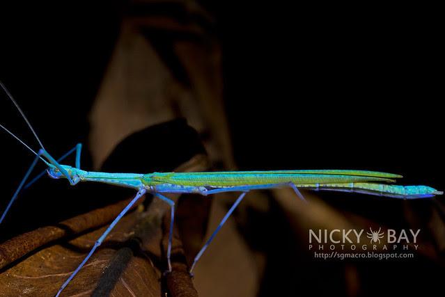 Stick Insect under Ultraviolet (Phasmatodea) - DSC_3058