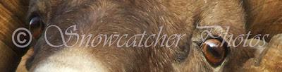 Bighorn Eyes