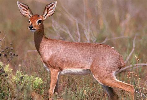 Steenbok   Antelope   South Africa