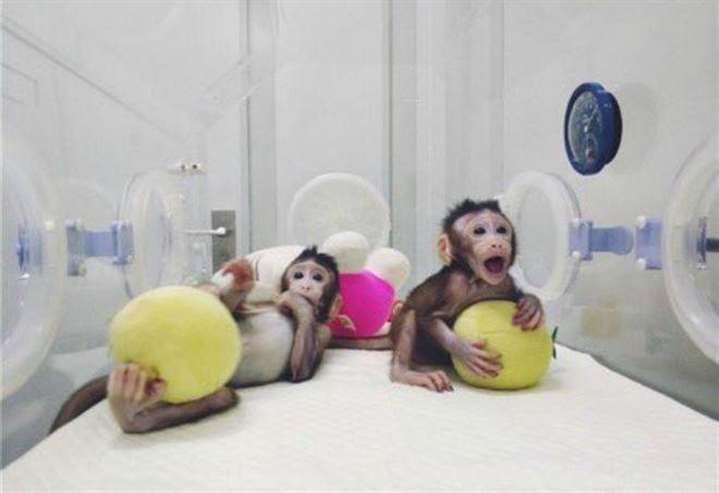 Risultati immagini per scimmie clonate