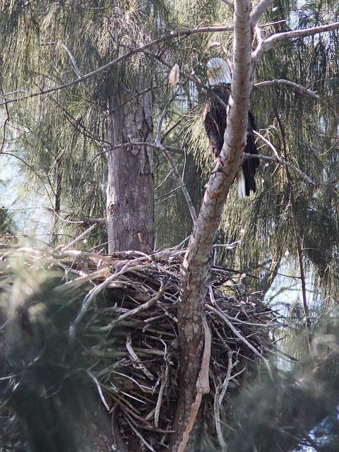 Bald Eagle female at nest 20131015