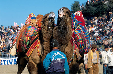 Camel wrestling 3 Weirdest Competitions In The World Pictures Seen on www.VyperLook.com