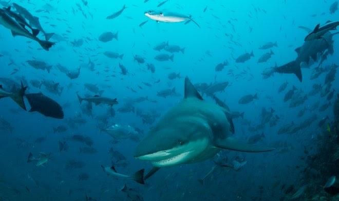 Во избежание конкуренции акулы научились охотиться посменно