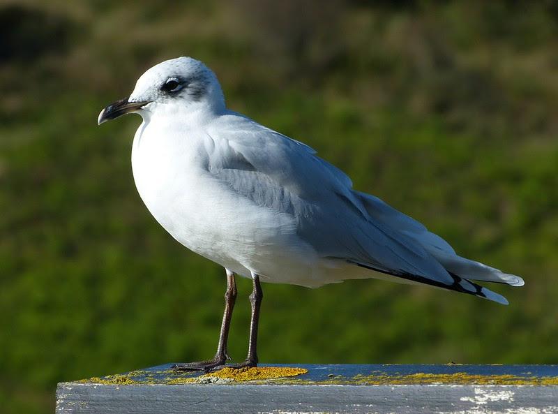 28818 - Mediterranean Gull, Bracelet Bay