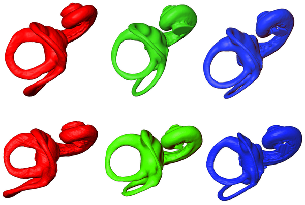 Figura 3 Representación basada en MicroCT del laberinto óseo cara superior izquierda en: Homo sapiens (rojo, a la izquierda), Pan paniscus (verde, en el centro) y Pan troglodytes (azul, a la derecha).