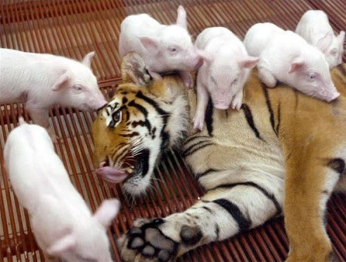 tigres-and-piglets