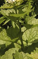 Alliaria petiolata GARLIC MUSTARD