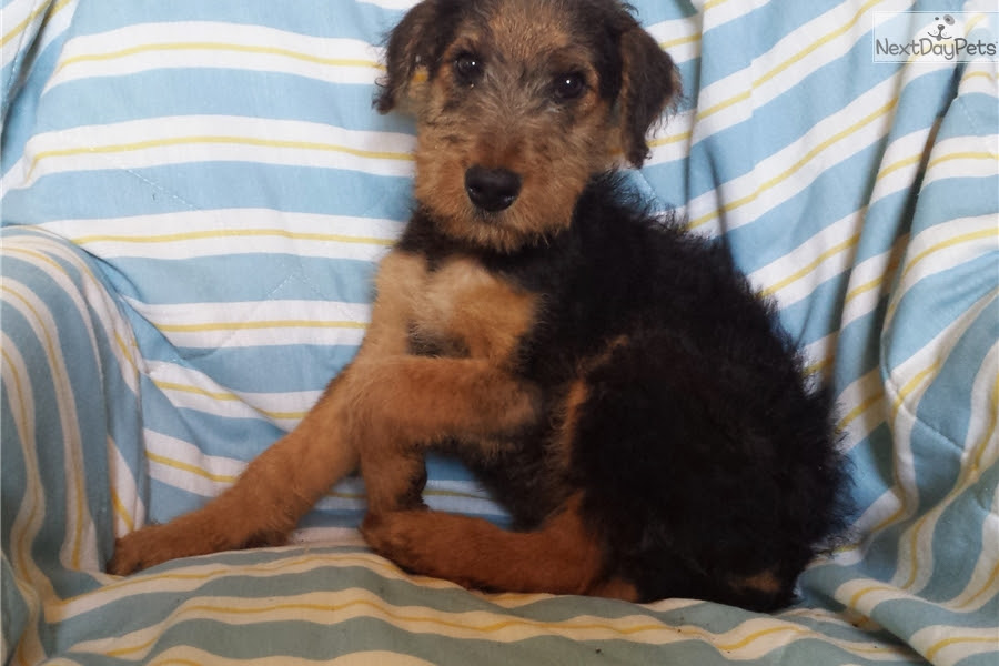 Airedale Terrier puppy for sale near Austin, Texas  46a772747061