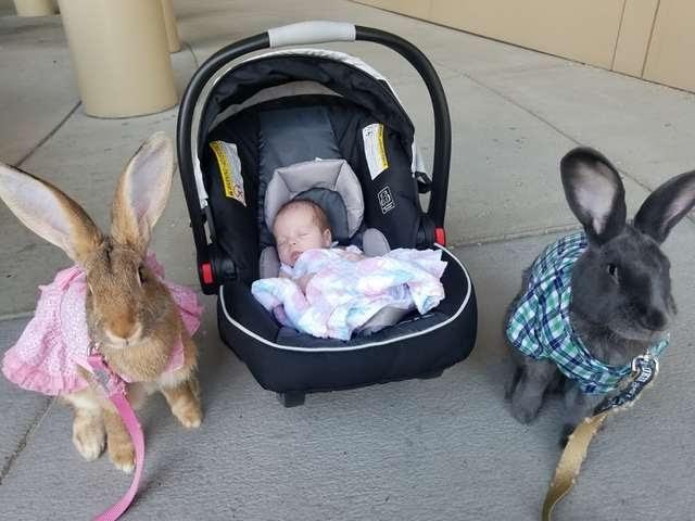 Pareja de conejos gigantes deciden que deben hacerse cargo de su nueva hermanita bebé