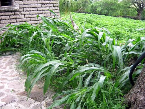 Fallen corn stalks
