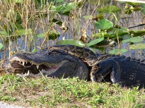 File:Gator and Python   Wikimedia Commons