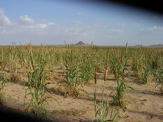 millet crops North Darfur