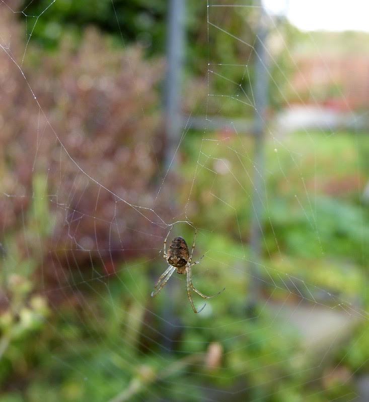 28844 - Orb Web Spider (Metellina segmentata)
