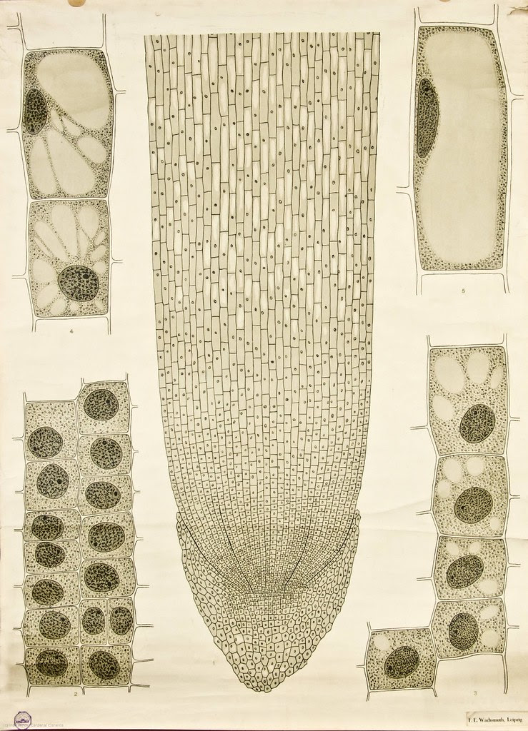 Cell growth -- Anatomia Vegetal 1929, pub. by FE Wachsmuth