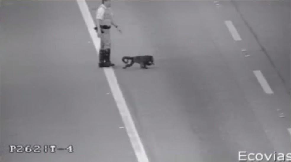 Policial tenta capturar macaco que atravessou rodovia dos Imigrantes (Foto: Reprodução/TV Globo)
