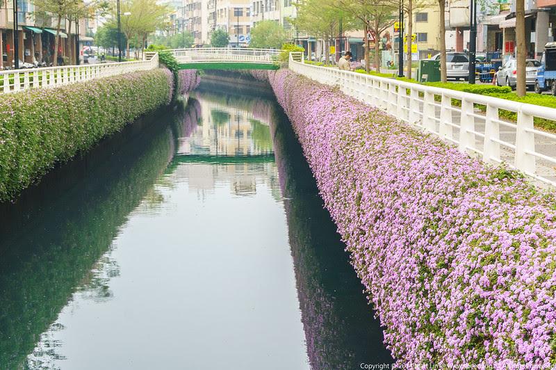 幸福川紫花馬纓丹