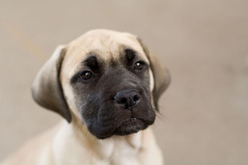 Bullmastiff Puppies for sale in North Dakota USA