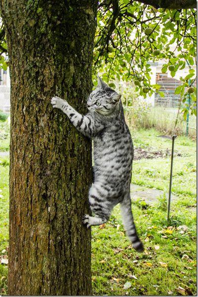 """Résultat de recherche d'images pour """"grimper dans les arbres chat"""""""
