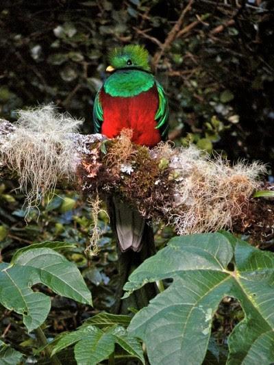 """O quetzal resplandecente, que era venerado por Maias e Astecas como o """"deus do ar"""", é uma das espécies em perigo - Foto de toryporter / Flickr"""