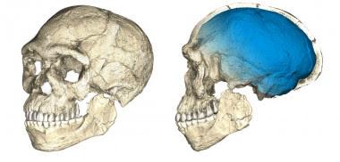 <p>Reconstrucciones del cráneo de los primeros fósiles de <em>Homo sapiens</em> descubiertos en el yacimiento de Jebel Irhoud (Marruecos). / Philipp Gunz, MPI EVA Leipzig</p>