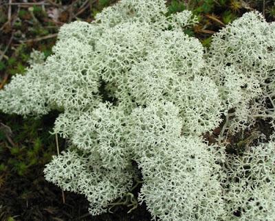 Ягель олений мох - лекарственные растения