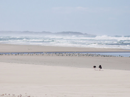pied oyster catchers and terns