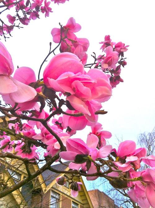 elevenpixels:  pink magnolia