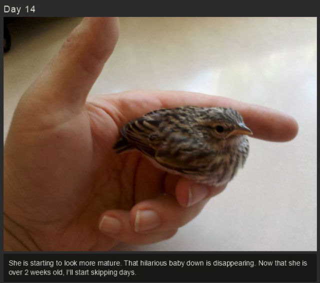 miniature_baby_songbird_rescued_and_raised_by_hand_640_16