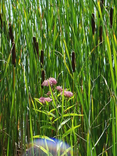 Cattails and swamp milkweed