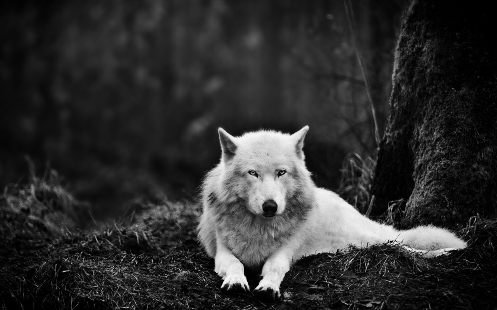 1680x1050 White Wolf In The Wild Desktop Pc And Mac Wallpaper